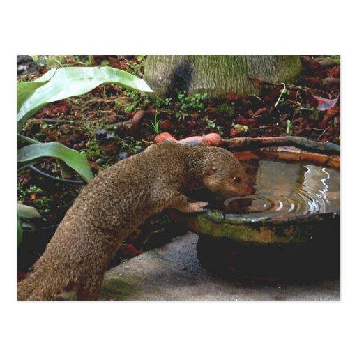 Mongoose Wildlife Happy Hour Post Cards