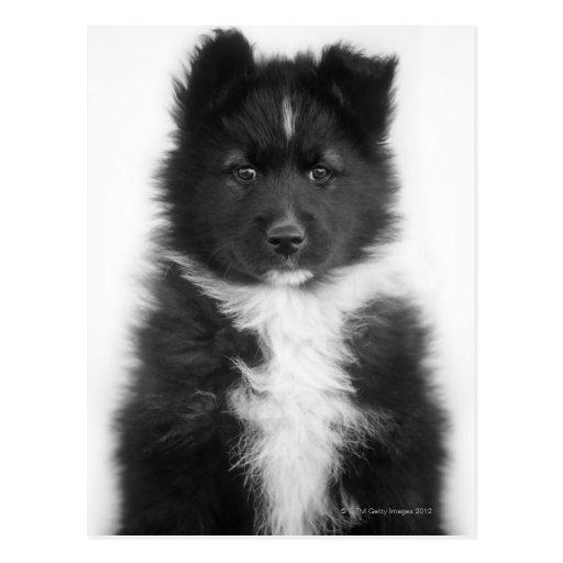 Mongrel Dog, Studio Shot Postcards