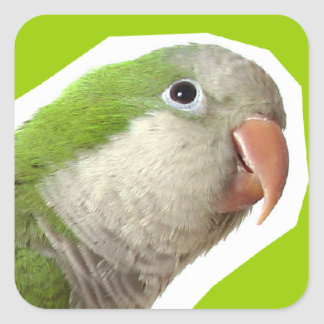 Monk Parakeet Square Sticker