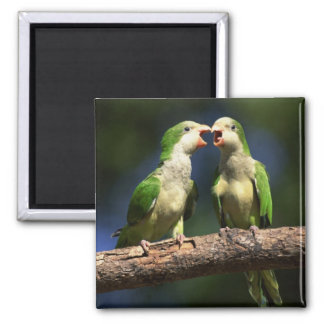 Monk Parakeets 2 Inch Square Magnet