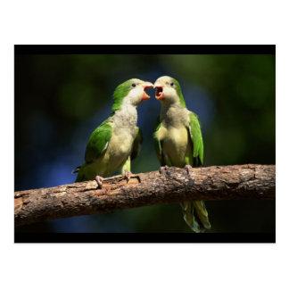 Monk Parakeets Postcard