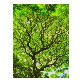 Monkey Pod Tree Poster