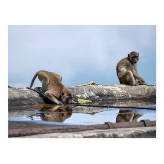 monkeys drinking in puddle postcard