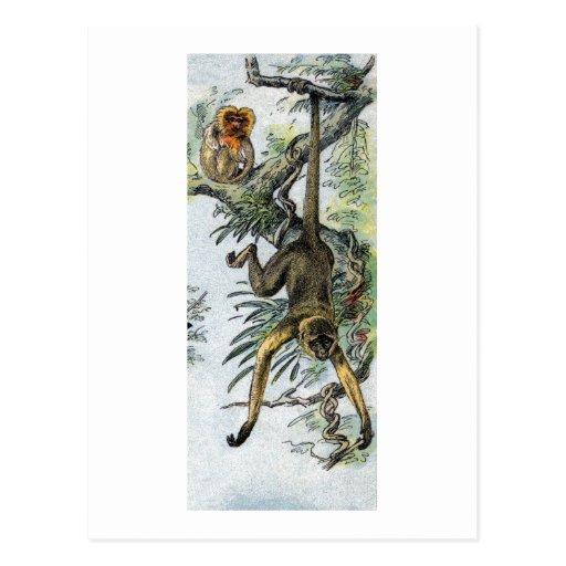 Monkeys - spider & tamarin post card