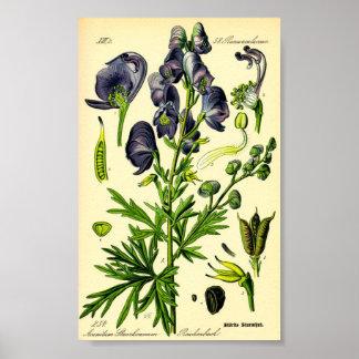 Monkshood (Aconitum napellus) Poster