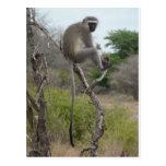 Mono africano en el parque de Krueger, Suráfrica Tarjetas Postales