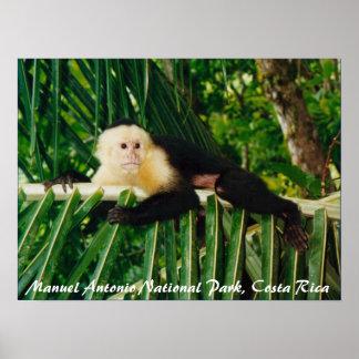 Mono blanco Costa Rica de la cara Póster