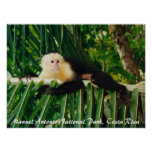 Mono blanco Costa Rica de la cara Posters
