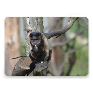 Mono copetudo lindo del capuchón comunicado