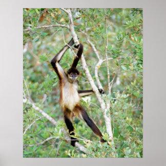 Mono de araña en el parque zoológico de Belice Poster