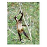 Mono de araña en el parque zoológico de Belice Tarjeta Postal