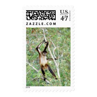 Mono de araña en el parque zoológico de Belice Timbres Postales