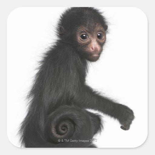 mono de araña Rojo-hecho frente - paniscus del Pegatina Cuadrada