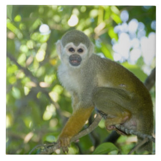 Mono de ardilla común (sciureus) del Saimiri Río Azulejo Cuadrado Grande