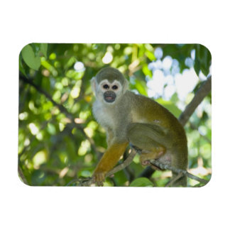 Mono de ardilla común (sciureus) del Saimiri Río Imanes Flexibles