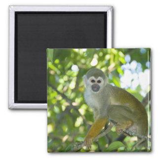 Mono de ardilla común (sciureus) del Saimiri Río Imán Cuadrado