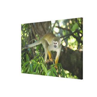Mono de ardilla común, (sciureus del Saimiri), Río Impresion En Lona