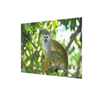 Mono de ardilla común (sciureus) del Saimiri Río Impresión En Lona Estirada