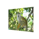 Mono de ardilla común (sciureus) del Saimiri Río Lona Estirada Galerias