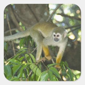 Mono de ardilla común, (sciureus del Saimiri), Río Calcomanía Cuadradase
