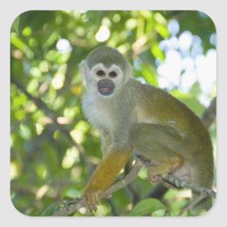 Mono de ardilla común (sciureus) del Saimiri Río Pegatinas Cuadradas