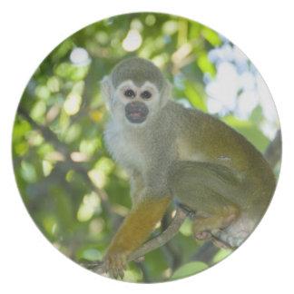 Mono de ardilla común (sciureus) del Saimiri Río Plato Para Fiesta