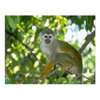 Mono de ardilla común (sciureus) del Saimiri Río Postal