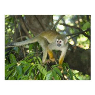 Mono de ardilla común, (sciureus del Saimiri), Río Postal