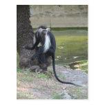 Mono de Colobus blanco y negro angolano Postales