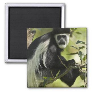 Mono de Colobus blanco y negro, Colobus 2 Imán Cuadrado