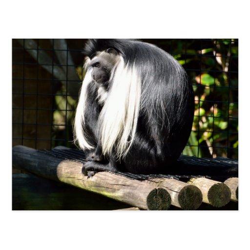 Mono de Colobus blanco y negro Tarjeta Postal