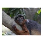 Mono de Colobus rojo occidental Invitación 12,7 X 17,8 Cm