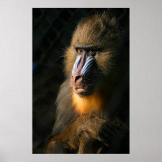 Mono de Mandrill Posters