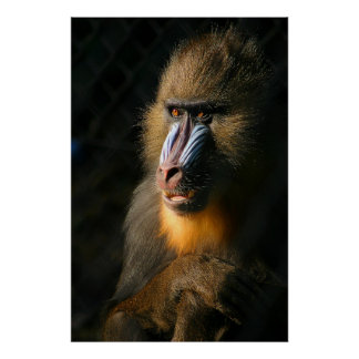 Mono de Mandrill Póster