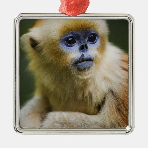 Mono de oro adorno cuadrado plateado