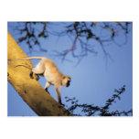 Mono de Vervet en la rama de árbol, Serengeti Tarjetas Postales