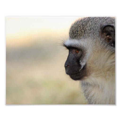 Mono de Vervet Foto