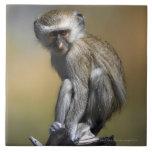 Mono de Vervet joven (aethiops del Cercopithecus)  Azulejo Cuadrado Grande
