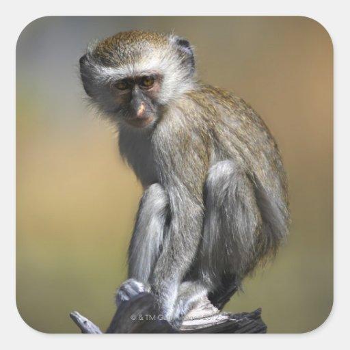Mono de Vervet joven (aethiops del Cercopithecus) Pegatina Cuadrada