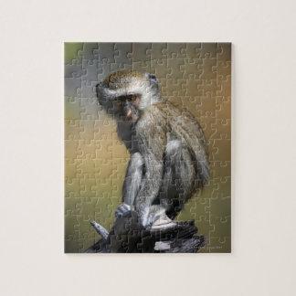 Mono de Vervet joven (aethiops del Cercopithecus)  Puzzles Con Fotos