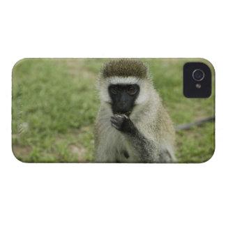 Mono de Vervet que come, África iPhone 4 Cárcasas