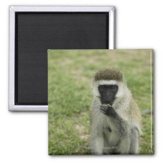 Mono de Vervet que come, África Imán Cuadrado