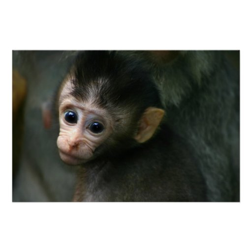 Mono del bebé posters