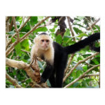 Mono en Costa Rica Postales