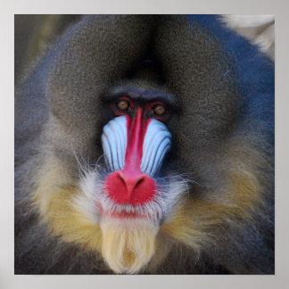 Mono sabio de Mandrill Póster