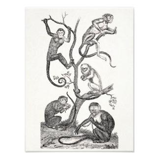 Monos anaranjados del ejemplo 1800's del mono del  fotografia
