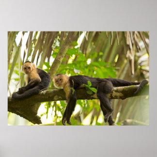 Monos hechos frente blancos del capuchón en Costa  Posters