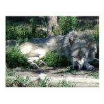 Montana Sleeping Wolf Post Card