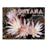 Montana State Flower: Bitterroot Postcard