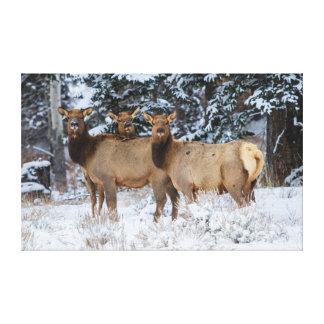 Montañas rocosas, Wyoming. Alces (Cervus Elaphus) Impresión En Lienzo
